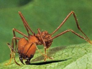 В желудке лягушки ученые обнаружили новый вид муравьев с челюстями-щипцами