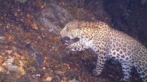 В Армении зафиксирована положительная тенденция роста Кавказского гепарда: ЭкоЛур