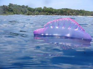На острове Пхукет в Таиланде из-за нашествия ядовитых физалий закрывают пляжи