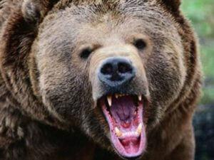 В Армении медведь расправился с полудюжиной овец