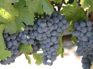 В Армении заготовили уже около 90 тысяч тонн винограда