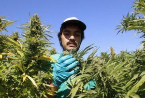В Грузии оппозиционная партия требует от властей легализовать потребление и выращивание марихуаны