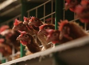 В Японии забивают кур и уток для борьбы с птичьим гриппом
