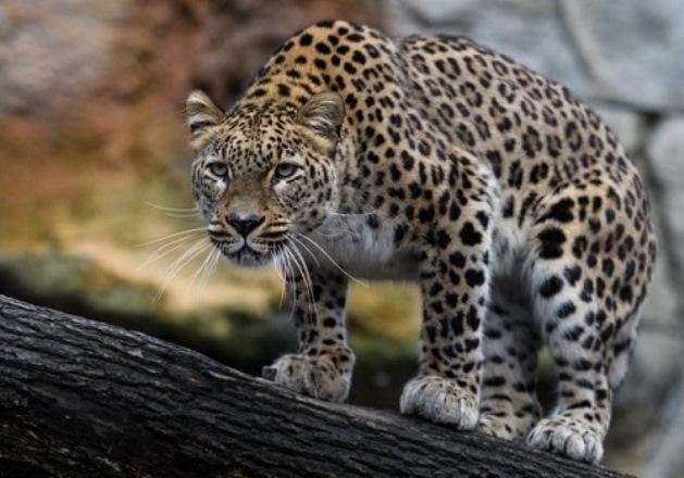Тавуш стал четвертой областью Армении, в которой обитает леопард