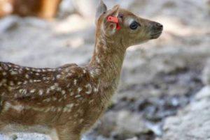 В Ереванском зоопарке родился олененок европейской породы