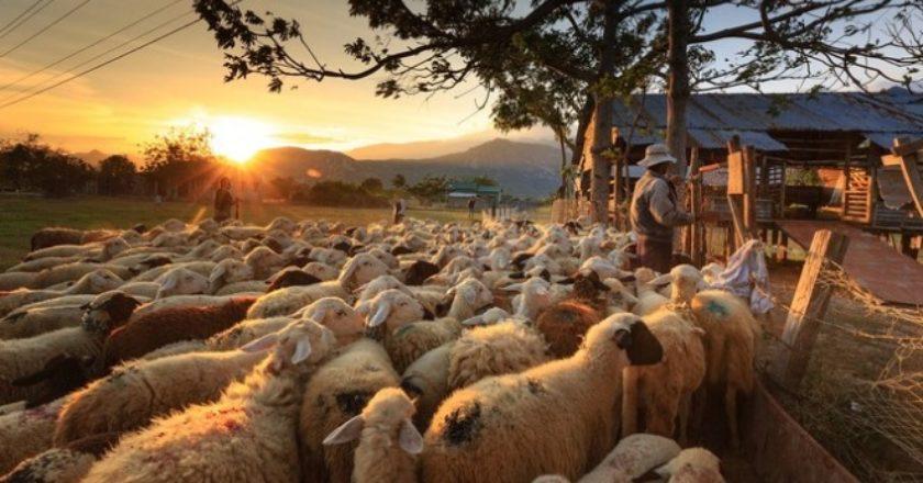Экспорт овец и коз из Армении вырос на 256%