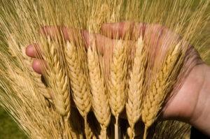 Популярные виды и сорта пшеницы